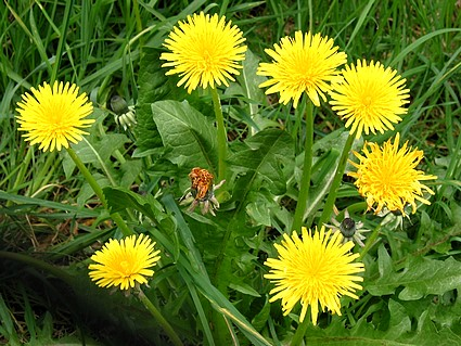 Milk Thistle Dandelion Root