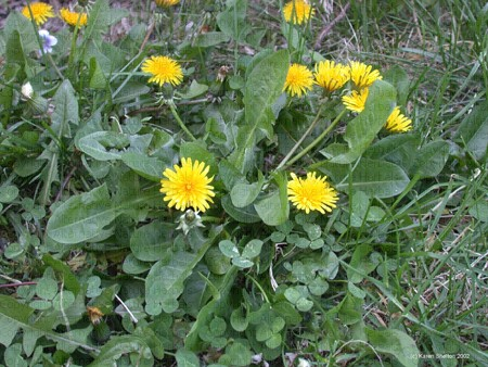 dandelion should be avoided by people with gallstones
