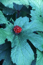 Goldenseal root a natural remedy for candida