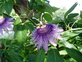Passion flower can help with anxiety and hysteria